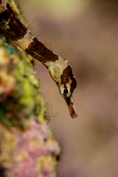 Brown-banded Pipefish