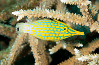 Longnose Filefish