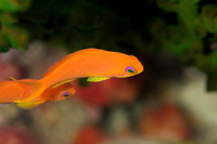 Female Scalefin Anthias